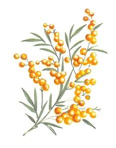 nature - mimosa 1