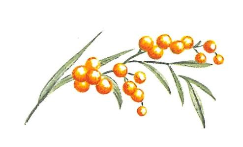 nature - mimosa 2