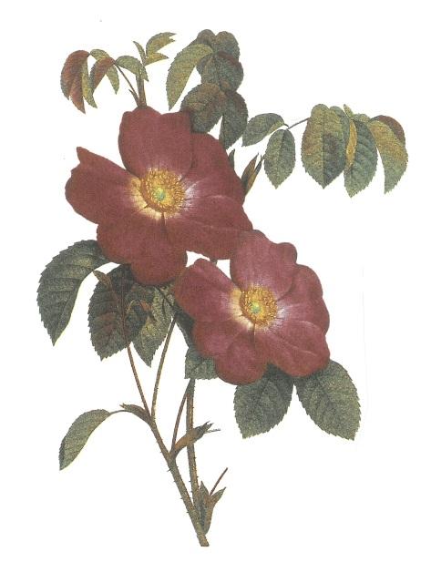 nature - rose