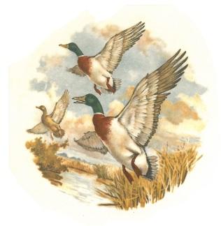 oiseaux - canard 1