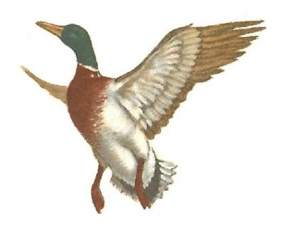 oiseaux - canard 2