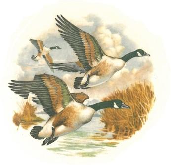 oiseaux - oie 1