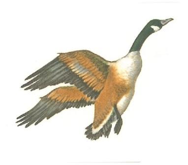 oiseaux - oie 2