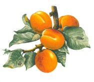 VERGER - abricot