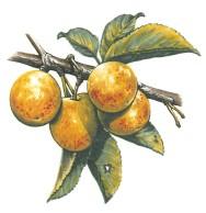 VERGER - prune