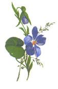 violettes n°5